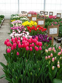 現在のWK49の開花状況①・チューリップ試験栽培の生育状況について報告|株式会社 日園