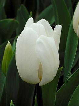 ホワイトフラッグ・チューリップ試験栽培の生育状況について報告|株式会社 日園