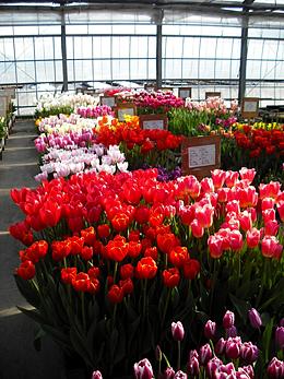 現在のWK49の開花状況・チューリップ試験栽培の生育状況について報告|株式会社 日園