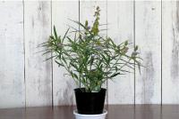 日本を咲かそうシリーズ 第1弾・秋向けの新しい鉢物【タヌキマメ・狸豆・たぬき豆・原産地は日本】